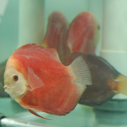 Discus Fish Leaning to One Side or Another, Tilting, and Laying Flat