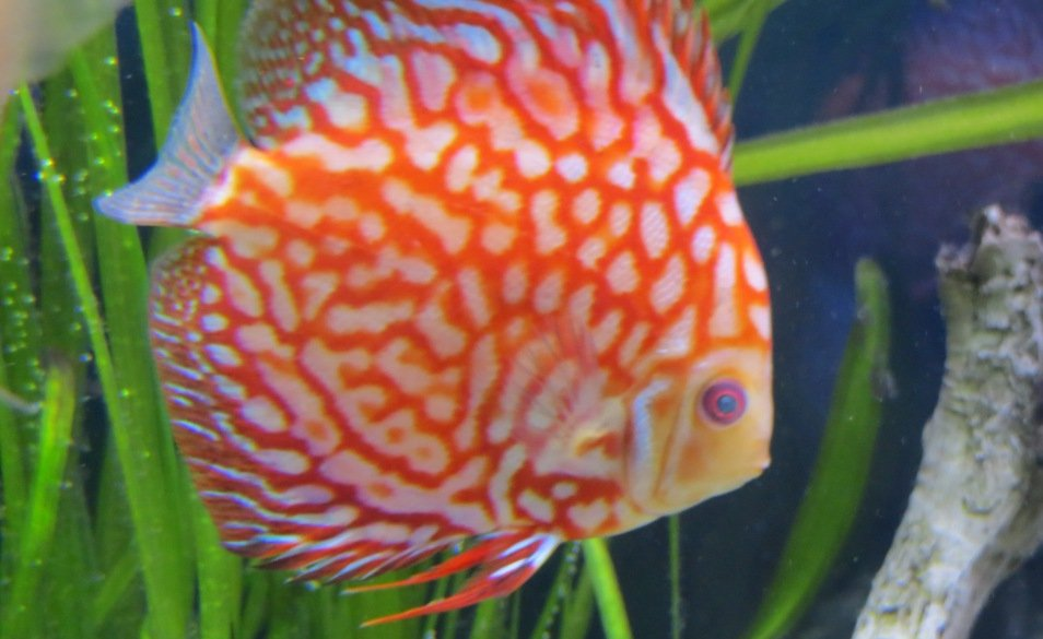 Cloudy Eyes in Tropical Discus Fish and Aquarium Tanks