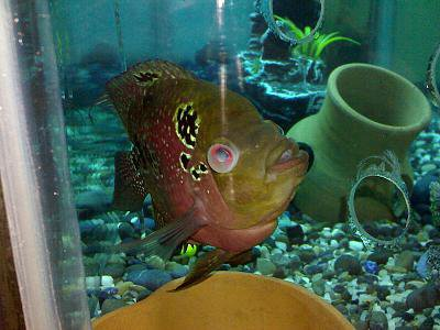 Cloudy Eyes in Flowerhorn Cichlid