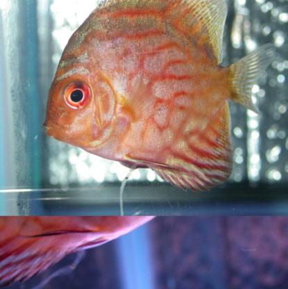 Yellow or white segmented poop in aquarium fish