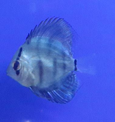Discus fish losing weight due to internal parasites