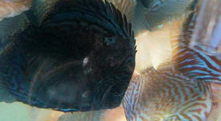 Clamped Fins, Excess Slime, and Leaning to Sides are Some of the Most Common Symptoms of the Discus Plague