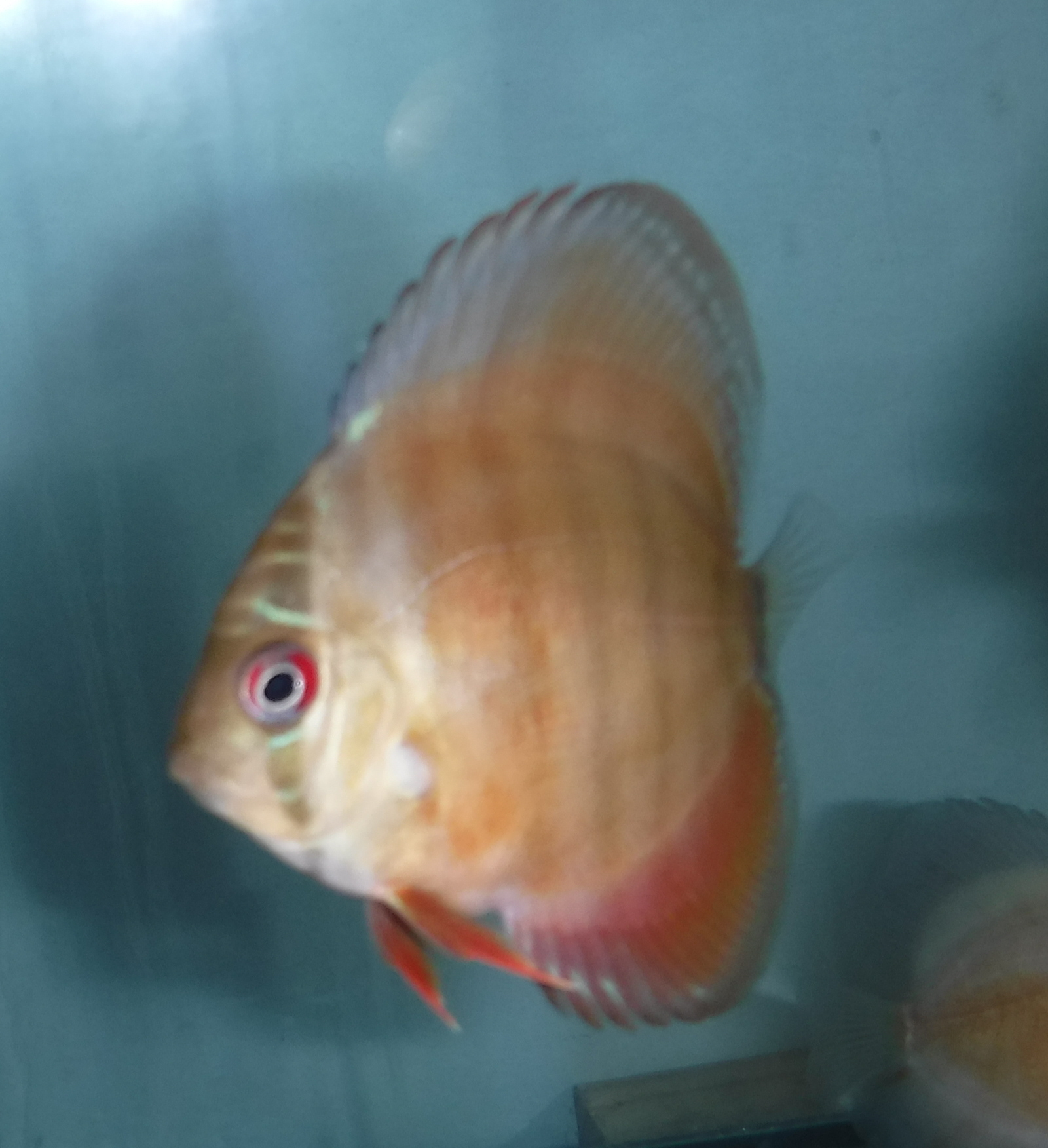 Discus Fish Keeping Tips and Secrets