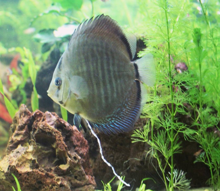 Clear or white mucus in discus fish poop
