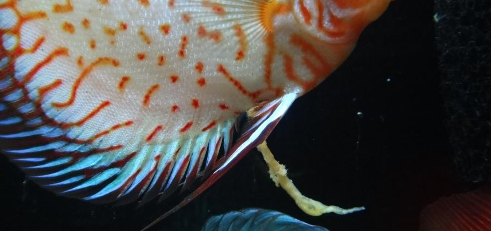 White Feces; Clear & Long Stringy Poop in Tropical Fish