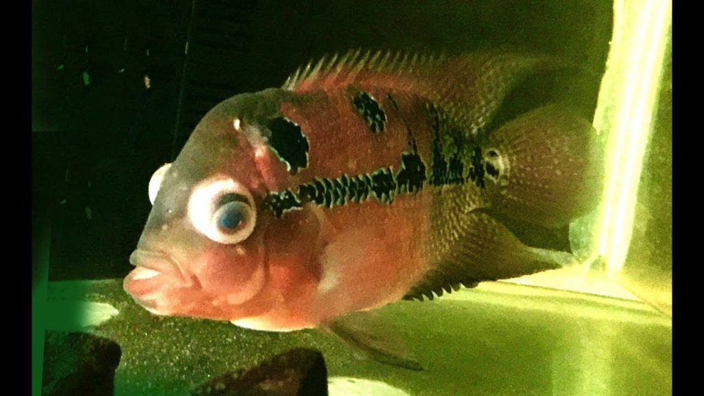 Swelling and Bulging of Flowerhorn Cichlid Eyes
