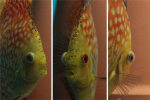 Discus Popeye disease from different angles