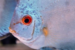 Small holes on the head of discus fish