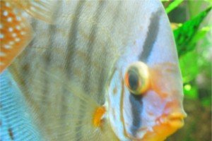 Protruding Eyeball in Discus Fish Eye